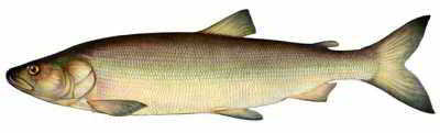 Лососевые рыбы названия, особенности видов
